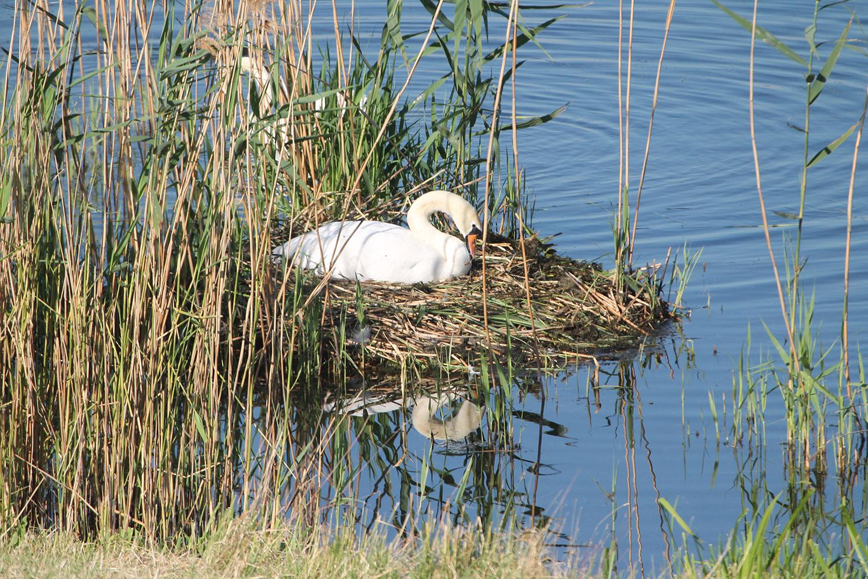 Höckerschwan auf Nest