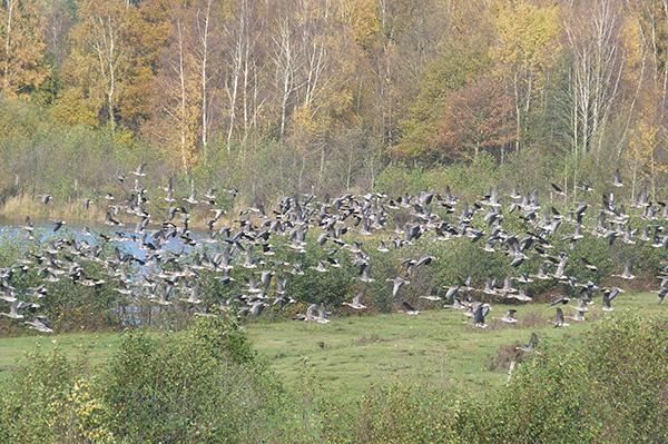 ein schwarm fliegender gänse reservebecken