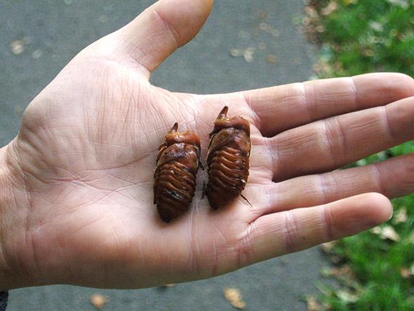 Nashornkäferlarven auf Hand