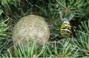 Wespenspinne mit Kokon