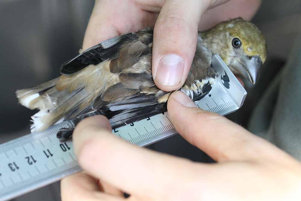 schwarz-weißer Vogel wird untersucht