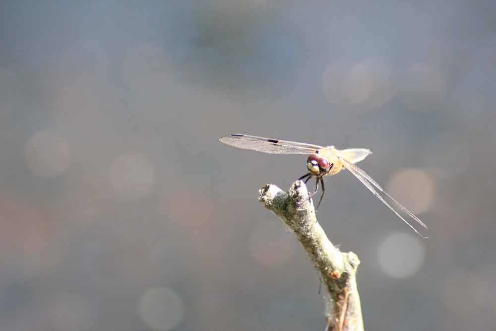 Libelle im Vallenmoor