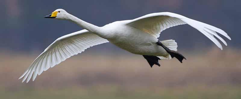 Singschwan im Flug