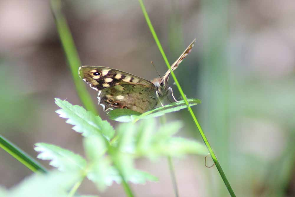 Libelle auf Schilf